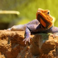 Picture Shows: Rainbow lizard